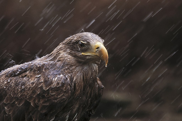 Golden eagle in rain