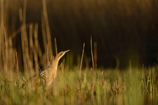 Bittern photography hide