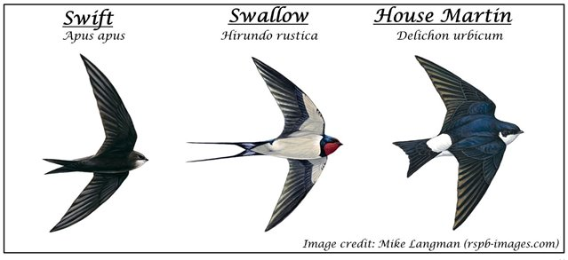 The difference between a swift, swallow and house martin