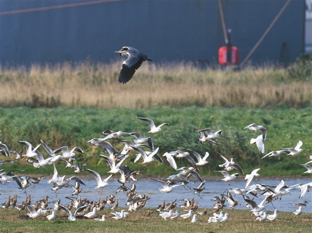 Grey heron, black-headed gulls and black tailed godwits. Photo credit: Chris Gomersall (rspb-images.com)