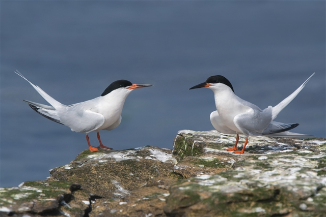 Roseate tern by Tim Melling (rspb-images.com)