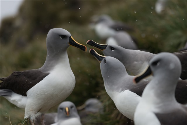 grey headed albatross courtship