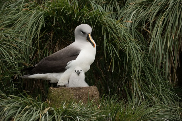 grey headed albatross on nest with fluffy chick
