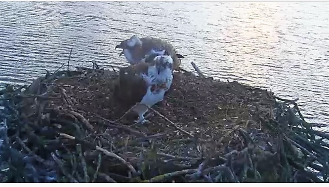 Loch Garten Ospreys