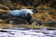 Atlantic Seal - by Laura Richardson